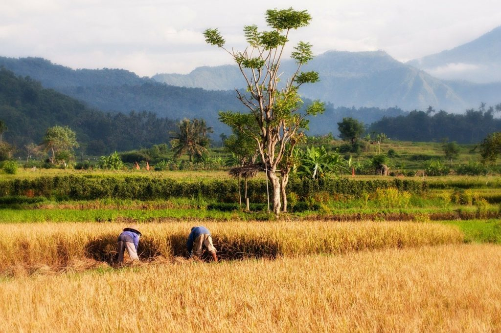 People working in a paddy field in Bali. Photo: Pixabay